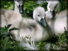 3 Macro Signets at Low Barns. 24th June 2016 (Tigeress blue) Tags: bird nature birds swan babies swans signets lowbarns wendyminto