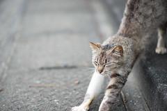 (23fumi) Tags: cat nikon bokeh 85mm stretch   d600 afs85mmf18g