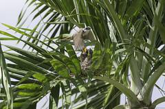 Ya regreso (Sniper PR) Tags: pitirre crias ave aves birds palmas nido