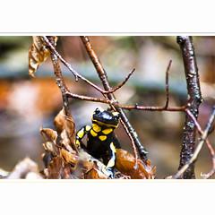 Framed (horstmall) Tags: de salamander alb schwbischealb salamandrasalamandra albtrauf jurajura jurasuabe horstmall sswabian alpsjura souabezwabische suabia schwabenin juravapska jurasvafnesku alparnirjura szwabskasvabya alplerivbsk albaalpes subios vabijos alps schwabisk