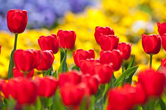 Colorful Tulips - Spring Feeling! (Felix Schmidt Photography) Tags: lighting blue light red plants plant flower color colour detail nature colors yellow composition contrast canon garden photography eos focus raw photographer dof tulips bokeh details pansy tulip pansies tamron 500d