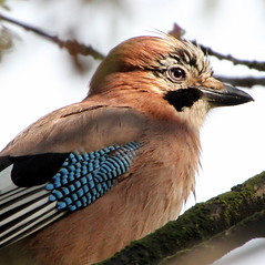 Queen For A Day Too (Ger Bosma) Tags: bird dutch europe european jay thenetherlands extremecloseup gettyimages eurasianjay garrulusglandarius gaai vlaamsegaai gayo eichelhher thegalaxy geaideschnes ghiandaia closeupdetail arrendajo extremedetail img40996a