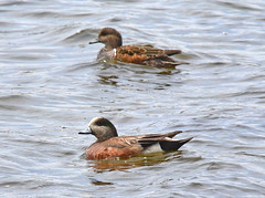 American Wigeon pair (Anas americana) (NatureFreak07) Tags: spring pair ducks waterfowl americanwigeon anasamericana lemoinespoint kingstonon naturefreak07 hnainphotography