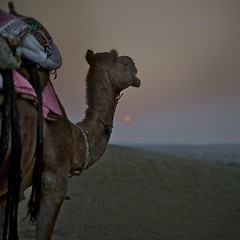 Thar Desert - Camel at Sunset ( j  r e n) Tags: sunset colour animal square camel 50 couleur jaisalmer rajasthan coucherdesoleil gettyimages inde carr dromadaire chameau 500x500 dsertduthar