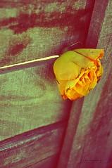 كم اشتههي آن آرححححل عن گل شيء ..! (khlọọd ặlkhặldi   خلود الخالدي) Tags: nikon تصوير d90 الطائف خلود الخالدي khlood الفوتوغرافيه alkhaldi المصوره