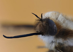 Bee Fly (Bombylius major) (Johan J.Ingles-Le Nobel) Tags: yellow insect fly bellows proboscis beefly extrememacro bombyliusmajor photostack macrostack zerenestacker johanjingleslenobel