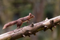 Run and jump! (Oliver C Wright) Tags: red mammal squirrel yorkshire redsquirrel