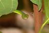 Green Vine Snake (Ahaetulla nasuta) (JINTO PAUL THEKKUMTHALA) Tags: green snake sony cybershot snakes dsch1 greensnake sonydsch1 greenvinesnake snakesofindia indiansnake