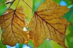 Leaves (Deb Jones1) Tags: brown nature beauty leaves canon garden botanical outdoors leaf flora flickrawards debjones1