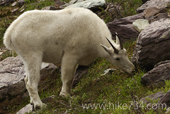 "Mountain Goat • <a style=""font-size:0.8em;"" href=""https://www.flickr.com/photos/63501323@N07/7110985497/"" target=""_blank"">View on Flickr</a>"