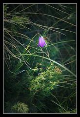 I am lonely (matt :-)) Tags: flower verde green fleur grass groen flor lawn meadow violet vert erba 1870mmf3545g pot grama gras grn  blume fiore viola mattia prato  herb  pelouse violeta herbe rasen violett bloem hierba  gramado    verda meadowland gazon  csped blom   violetti    vihre            nikond80      grasperk consonni  mattiaconsonni