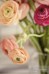 Ranunculus in vase (dhmig) Tags: pink flowers red italy stilllife white flower macro nature beauty closeup petals spring nikon dof buttercup softness naturallight ranunculus whitebackground freshness elegance purity flowerhead 50mmf28 fragility nikond7000 dhmig dhmigphotography