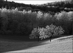 Eveninglight (Werner Koenig) Tags: bw tree nature forest landscape schweiz switzerland countryside blackwhite natur baselland canong10 boekten flickricious365