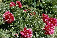 Ach, Sünder waren wir (amras_de) Tags: flower fleur drawing flor dessin blomma blume fiore dibujo blüte blomst tegning desenho disegno dibuix virág lore teikning crtež bloem zeichnung tekening blóm çiçek floro kwiat flos ciuri çizim azaleen kvet teckning kukka rysunek cvijet flouer bláth cvet rajz zieds piirustus õis floare desen blome žiedas kresba risba zimejums tegnekunst adumbratio desegnajo