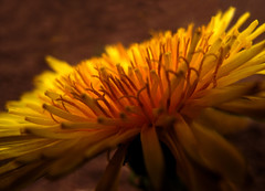 Yellow Beauty in Evening Backlight (Batikart) Tags: light brown sun sunlight plant flower macro art nature leaves yellow closeup canon germany geotagged deutschland g