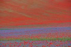 Colori ... di Castelluccio (paolo ammannati 1959) Tags: flowers italy reflections italia poppies flowering fiori 1001nights riflessi umbria papaveri castelluccio fioritura paoloammannati flickraward mygearandme