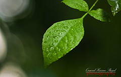 Crying leaf (Shajal1) Tags: trees portrait black color macro tree green nature water beautiful beauty rain closeup canon wonderful dark eos leaf amazing nice colorful dof shot drop 300mm 55mm disk dell intel excellent hassan lovely core greenleaf 18mm rainydays 75mm supershot i7 bukeh 70mm300mm 450d 18mm55mm shajal blinkagain gettyimagesbangladeshq12012 qamrul