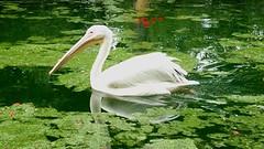 bird swim (hatschiputh) Tags: green bird water swim stuttgart pelican wilhelm