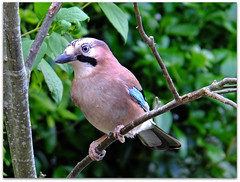 Jay! (macfudge1UK) Tags: uk summer england tree bird fauna europe branch jay britain watch watching gb perch corvid oxfordshire avian 2012 oxon rspb perching garrulusglandarius britishbirds allrightsreserved britishbird specanimal anawesomeshot xs1 covid naturethroughthelens 100commentgroup bbcsummerwatch rspblovesnature fujixs1 fujifilmxs1 sunrays5 rspbgreenstatus finepixxs1