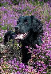 More Heather shots (Missy2004) Tags: dog heather retriever missy flatcoat prple beautifulworldchallenges nikkorafs18105mm3556ged