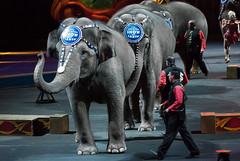 Elephant parade (Tex Texin) Tags: elephant oakland circus performing pachyderm dragons arena coliseum trick bros stunt ringling ringlingbros barnumbailey trained oaklandarena oaklandcoliseum