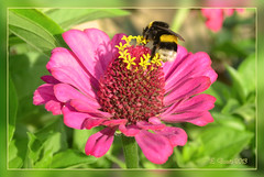 HummelFlug (Niemann-Buuts) Tags: flower animals garden insects narue abigfave panoramafotogrfico panoramafotografico mygearandme me2youphotographylevel1 unlimitedinsectslevel1