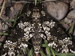Insects of Arizona (Laurent Lecerf pictures) Tags: arizona sphinx butterfly insect us beetle moth butterflies insects papillon moths beetles insecte insectes entomologie entomology gloriosa saturniidae splendens citheronia tarentula eacles catocala oslari chrysina beyeri