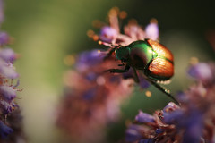 shiny-shelled (jennifernish) Tags: flowers wisconsin bug shiny colorful university arboretum madison prairie notyournormalbug jennifernish