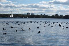 Birds Kralingse plas (Gafarferet) Tags: netherlands birds rotterdam vogels zuidholland kralingseplas