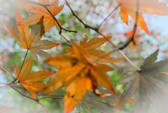 """""""Allez prendre des photos du jardin pendant que je prpare le djeuner"""" - 01 (Stphane Barbery) Tags: japan automne kyoto   japon feuille sekkakuan"""