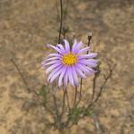 Olearia ciliata - Fringed Daisy Bush thumbnail