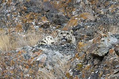 Snow Leopard (Baractus) Tags: park india snow john national leopard valley kashmir ladakh jammu oates hemis safaris royle rumbak
