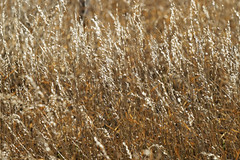 Golden Grasses (dcstep) Tags: urban usa nature colorado aurora urbannature allrightsreserved cherrycreekstatepark copyright2014davidcstephens 03232014 mg6646dxo