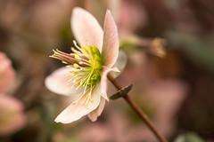 Helleborus Pink Beauty 032214 IMG_9920 (Orkakorak) Tags: pink flowers beauty flora helleborus favescontestwinner storybookwinner