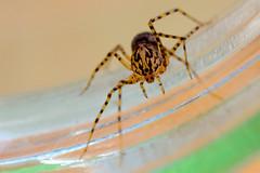 Scytodes thoracica (Giuseppe Moschetti.) Tags: spider freiburg giuseppe scytodes thoracica moschetti scistodes