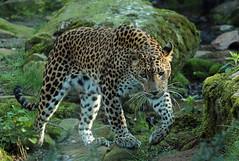 shrilankan panther Burgerszoo JN6A5867 (j.a.kok) Tags: leopard panther burgerszoo panter luipaard shrilankapanter shrilankanpanther