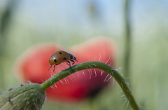 Camino espinoso (Aristides Díaz) Tags: insecto flor macro naturaleza amapolas coleóptero talloespinoso nikkor28105afd