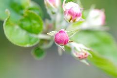 Apple Blossom (frankbehrens) Tags: macro apple pentax blossom cosina pflanzen plasticfantastic makro blte apfel appletree apfelbaum soligor joghurtbecher pentaxks2