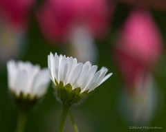 Daisies and bleeding hearts (Explored) (is.hollmann) Tags: flower spring daisy frhling gnseblmchen