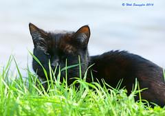 Sneaky Moggy (wok smuggler) Tags: cat blackcat feline outdoor pussycat sneaky moggy nikond7100 siigma150500