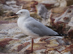 The Silver Gull (TopEnd Pik (ON/OFF)) Tags: ngc npc coth