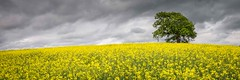 Alone in a Sea of Yellow (MatthewColman) Tags: uk flowers england panorama tree nature clouds landscape nikon crops lonely aldridge rapeseed 1755mm d7100