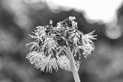 Bejewelled Bokeh (Fourteenfoottiger) Tags: flowers light blackandwhite plants macro texture nature water monochrome beauty rain contrast droplets weeds flora dof bokeh dandelion seeds sparkle seedhead raindrops delicate sparkly seedheads bejewelled bedraggled