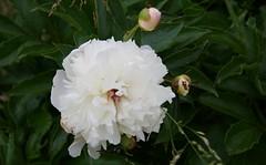 White peony (Niki Gunn) Tags: flowers flower macro pentax may peony tamron 90mm k5 tamron90mm 2016 tamron90mmf28 tamron90mmmacro tamronspaf90mmf28