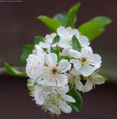 cherry blossom (Simon Dell Photography) Tags: uk england simon nature birds photography pentax photos wildlife sheffield may sigma apo dell xxx dg 2016 k50 s12 hsm hackenthorpe 150500mm
