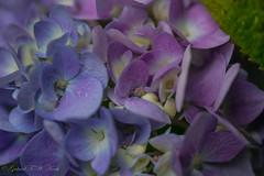 Blue Thru Pink (Gabriel FW Koch) Tags: pink flowers blue sun sunlight white macro green yellow closeup canon garden outside daylight purple cloudy bokeh blossoms buds hydrangea blooming 10mm