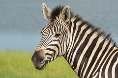 Portrait of Burchell's zebra (Equus quagga burchellii) looking at the viewer (Dave Montreuil) Tags: africa wild portrait nature animal neck mammal adult head african stripes wildlife malawi zebra southeast mane equus burchells quagga burchellii