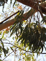 Gum leaves (k8ellenmo) Tags: bush australia eucalyptus gumtree