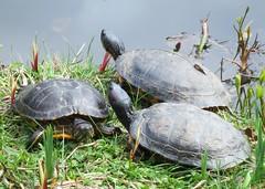 Three turtles (Ruth and Dave) Tags: lake animal vancouver garden three pond turtle reptile group vandusengardens botanicalgarden sunbathing basking redearedslider