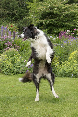 Dancin' dawg (Keartona) Tags: poppy dancing funny stoodup bordercollie dog garden summer england bonkers collie humour actuallyshewaspoppingbubbles